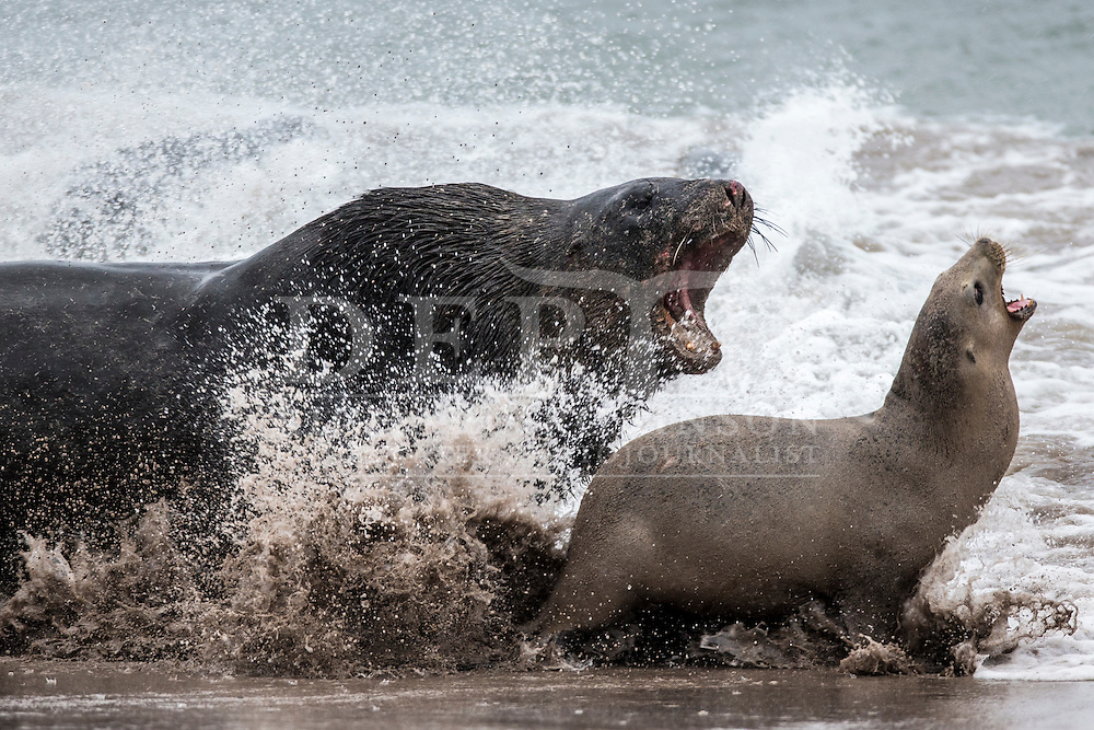 WHAT&rsquo;S KILLING THE SEA-LIONS?<br /> New Zealand sea-lion numbers have plummeted. Is it fishing pressure, climate change, the mysterious disappearance of octopuses, or a deadly new virus?<br /> <br /> A large male sea-lion chases down a female at Enderby Island. Females come ashore from early December and give birth to their pup within days. While suckling their pup they must regularly go to sea to feed, gathering in groups to storm a blockade of opportunistic males. When they return to the beach alone, males often catch them and hold them captive, sometimes for hours. Male sexual aggression can lead to injury or even death.<br /> <br /> Shot on assignment for New Zealand Geographic Issue138 March &ndash; April 2016.<br /> Photograph Richard Robinson &copy; 2016