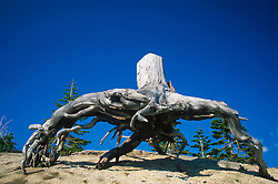 Barren Tree Roots at Cascade Peaks, Mt. St. Helens National Volcanic Monument, Washington, US
