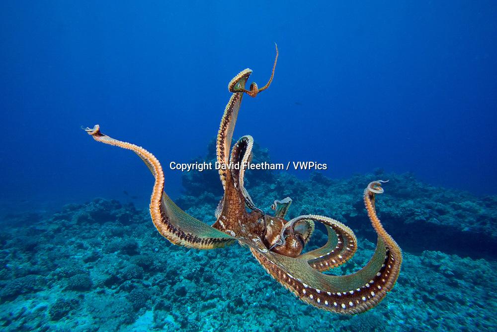 Day octopus, Octopus cyanea, Hawaii.