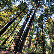 Redwoods forests along the Avenue of the Giants in Humboldt County, California - Humboldt Redwoods State Park.