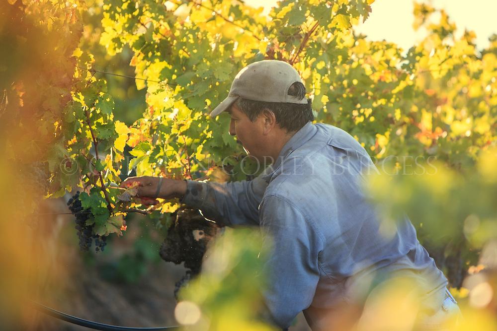 Harvest at Burgess Cellars