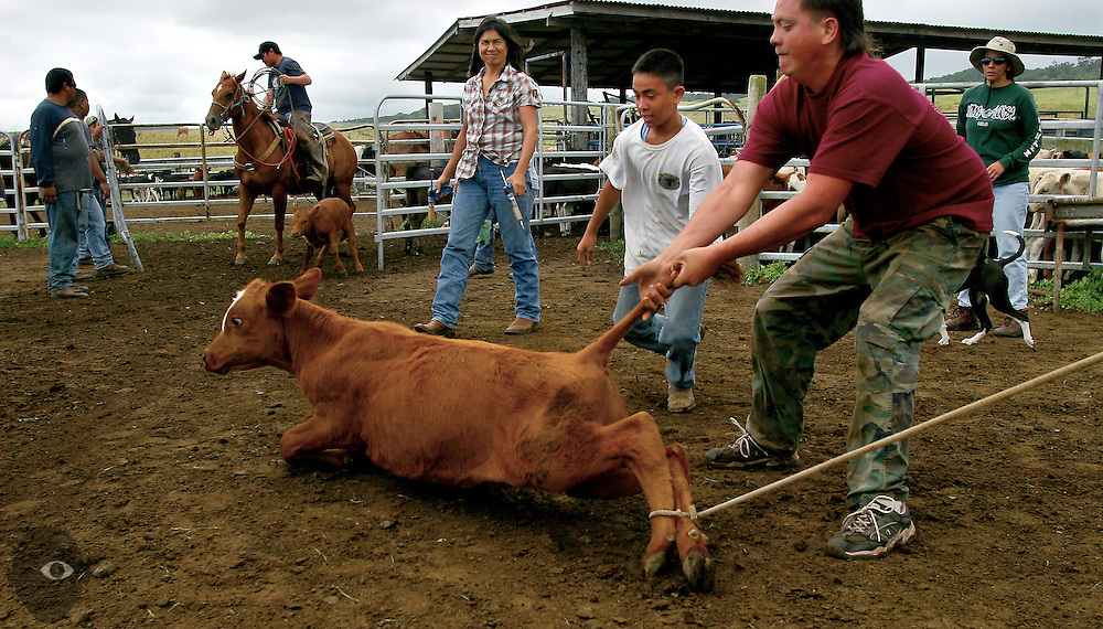 Cowboy Joseph Kuahiwinui assists Anthony Emmsley in taking down a smaller calf using it's tail as a handle. Over 100 were branded at the Kuahiwi Ranch somewhere in the higher country above the town of Naalehu on the southern part of the Big Island, Hawaii.