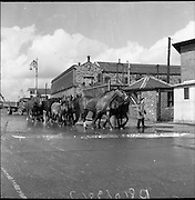 "A group of horses are lead down the street to be loaded onto The ""City of Waterford"" to be exported on the 21st April 1961."