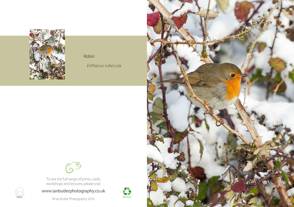 Robin Erithacus rubecula A5 Greeting Card with Peel and Seal White Envelope