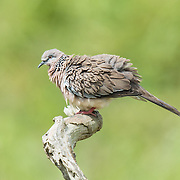 The spotted dove (Spilopelia chinensis) is a small and somewhat long-tailed pigeon which is a common resident breeding bird across its native range on the Indian Subcontinent and Southeast Asia.