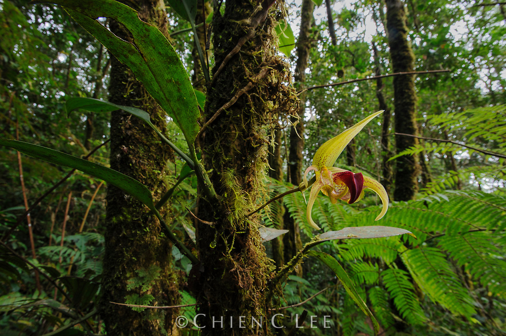 An unusually-shaped epiphytic orchid (Bulbophyllum uniflorum) blooms on a mossy tree in Sumatra's montane rainforest. West Sumatra, Indonesia.