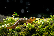 Cascade torrent salamander (Rhyacotriton cascadae) photographed in the rain at night near Mt. Defiance in the Columbia River Gorge, Oregon.