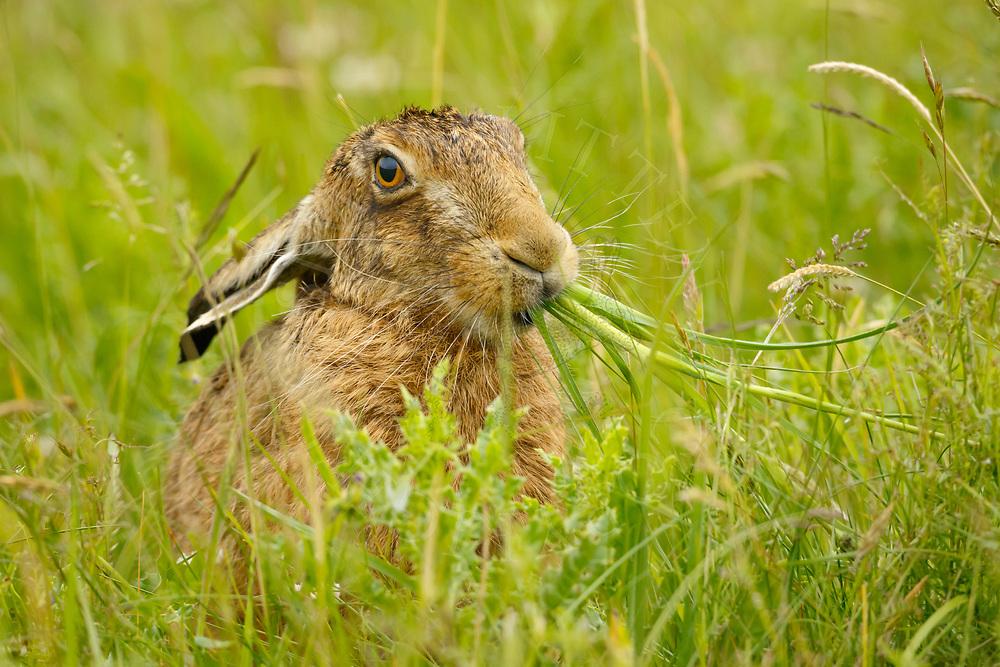 European Hare (Lepus europaeus) adult feeding in grass meadow, South Norfolk, UK. June