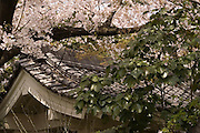Cherry blossoms (sakura) on the grounds of a temple in Nagoya City.