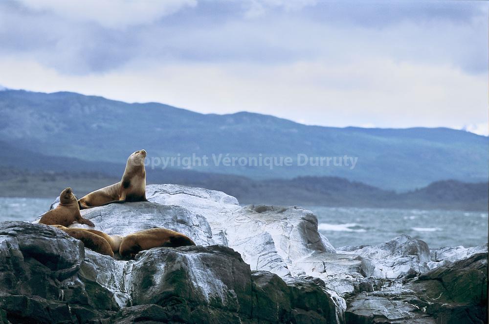 Le terme lion de mer designe differentes esp?s de mammif?s amphibies appartenant ?a famille des otariides, de l'ordre des carnivores. Ils constituent la sous-famille des otarines (Otariinae).