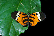 Heliconius sp. from Ecuador. (Controlled conditions).