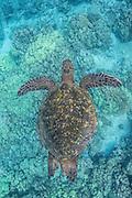 A Green Turtle glides over the coral reef at Honaunau Bay, Big Island, Hawaii.