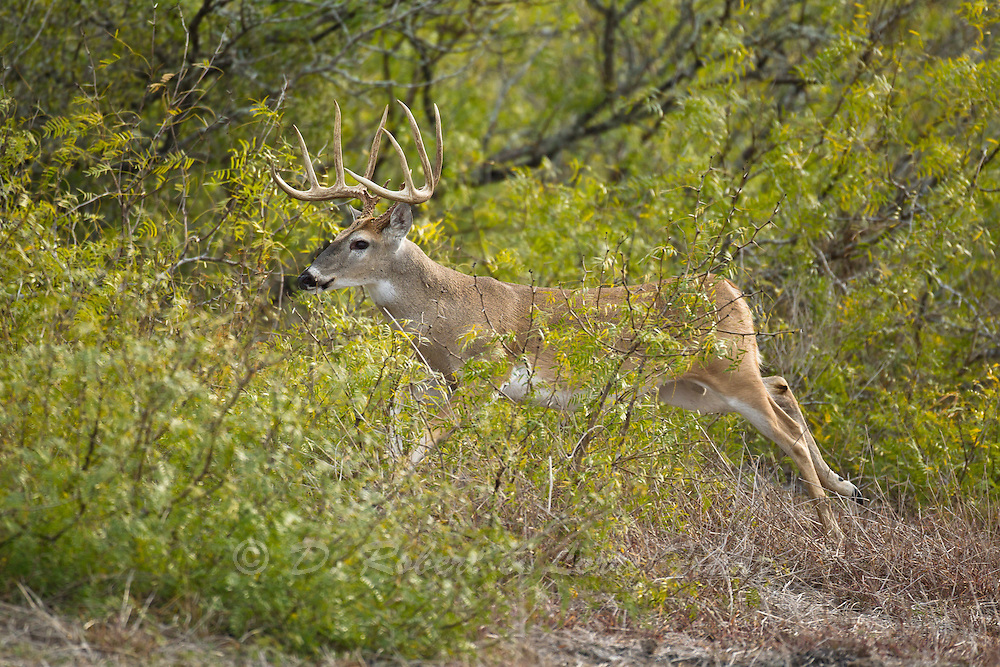 South Texas whitetail buck during autumn rut