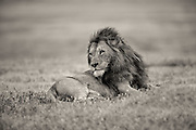 Lion at rest, Ngorongoro Crater, Tanzania.