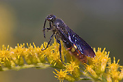 Digger Wasp <br /> Scolia dubia<br /> feeding on goldenrod nectar<br /> pollinating goldenrod<br /> PA, Ft. Washington State Park