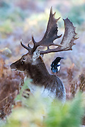 © Licensed to London News Pictures. 02/11/2016. Richmond, UK. A magpie sits on a deers back.  Deer in the frost in Richmond Park London today 2nd November 2016. much of the country experienced a frost overnight. Photo credit : Stephen Simpson/LNP