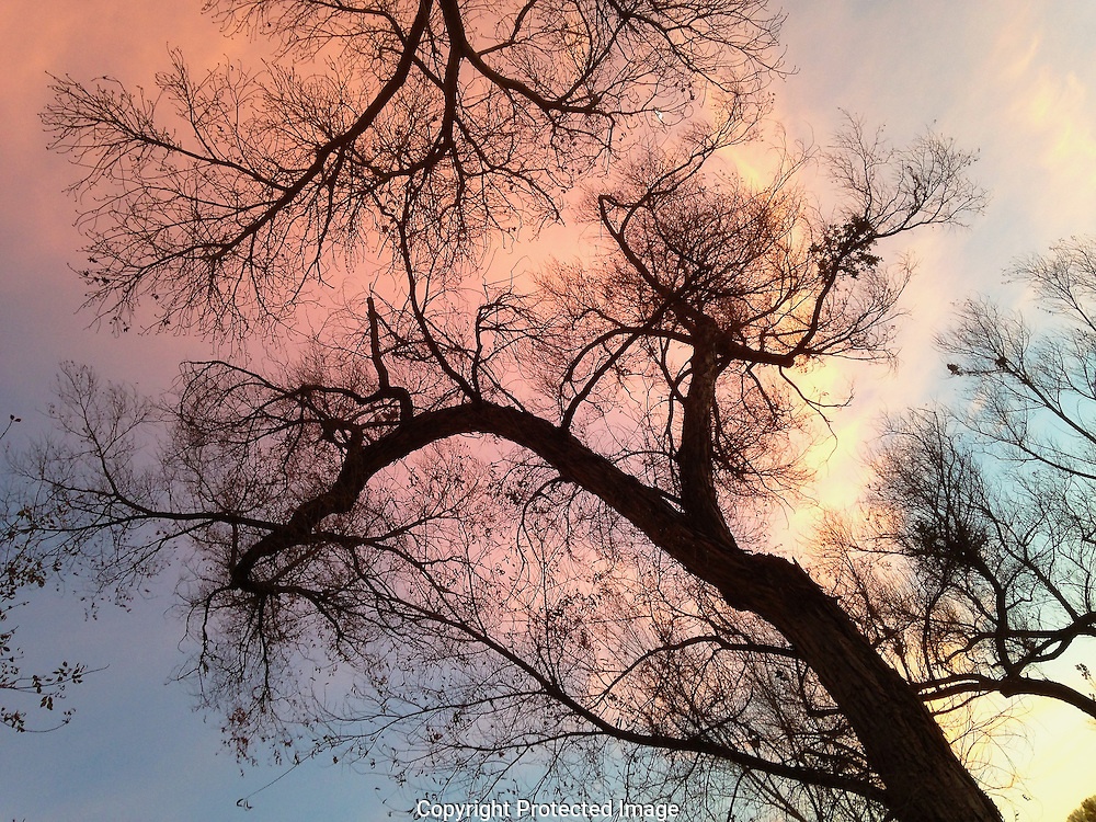 Cottonwood trees along Oak Creek, sunset, Sedona, Arizona