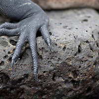 Ecuador, Galapagos Islands National Park, Santa Cruz Island, Puerto Ayora, Marine Iguana (Amblyrhynchus cristatus) resting on lava rocks near Darwin Research Station in
