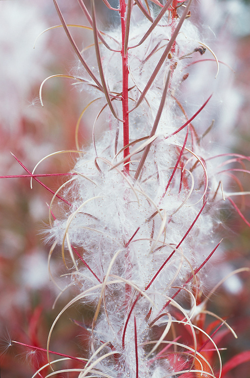 Closeup of Fireweed gone to seed along Glenn Highway in Southcentral Alaska. Fall. Afternoon.
