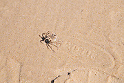 Israel. Haifa, Dado Beach, Ghost crab, (also called sand crab)
