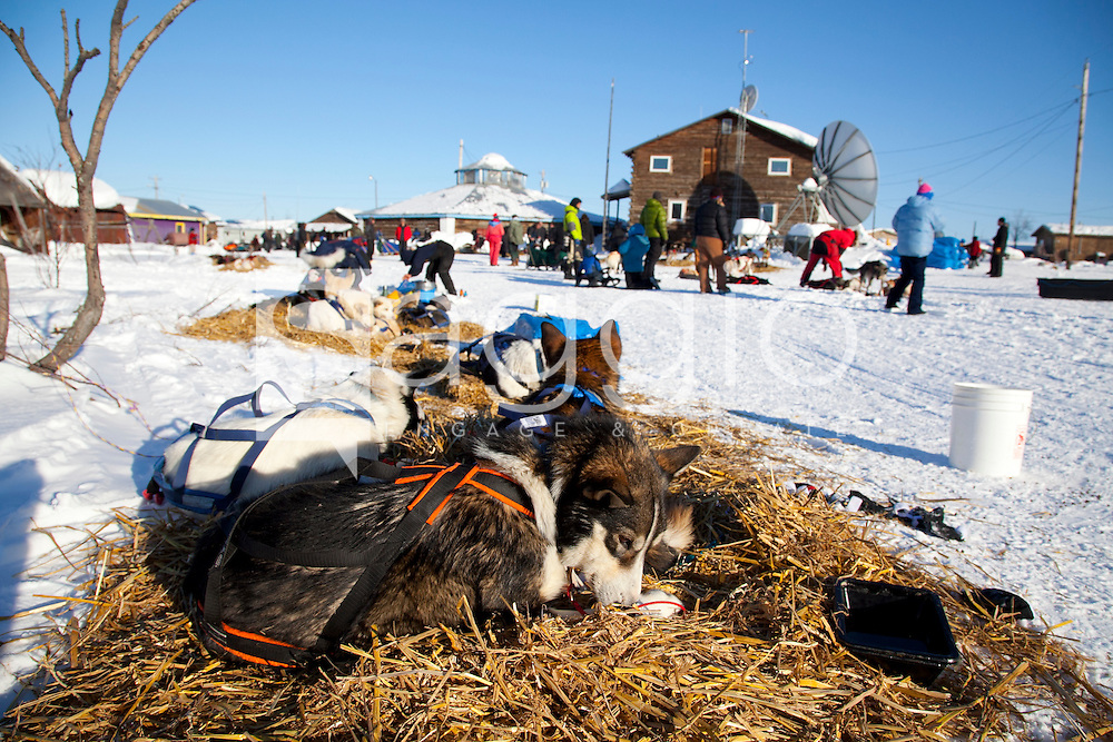 Hugh Neff's dogs bed down for a rest during the 2011 Iditarod Trail Sled Dog Race at the check-point in Kaltag, Alaska.