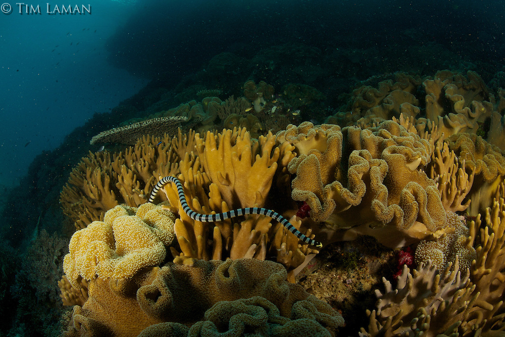 Banded sea krait (Laticauda sp.).