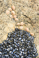 Invasive medeterainian mussels encroach towards indigenous limpets, Namaqua National Park, Northern Cape, South Africa