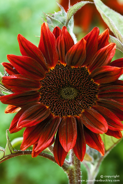 Helianthus annuus 'Deep Red'. Sunflower