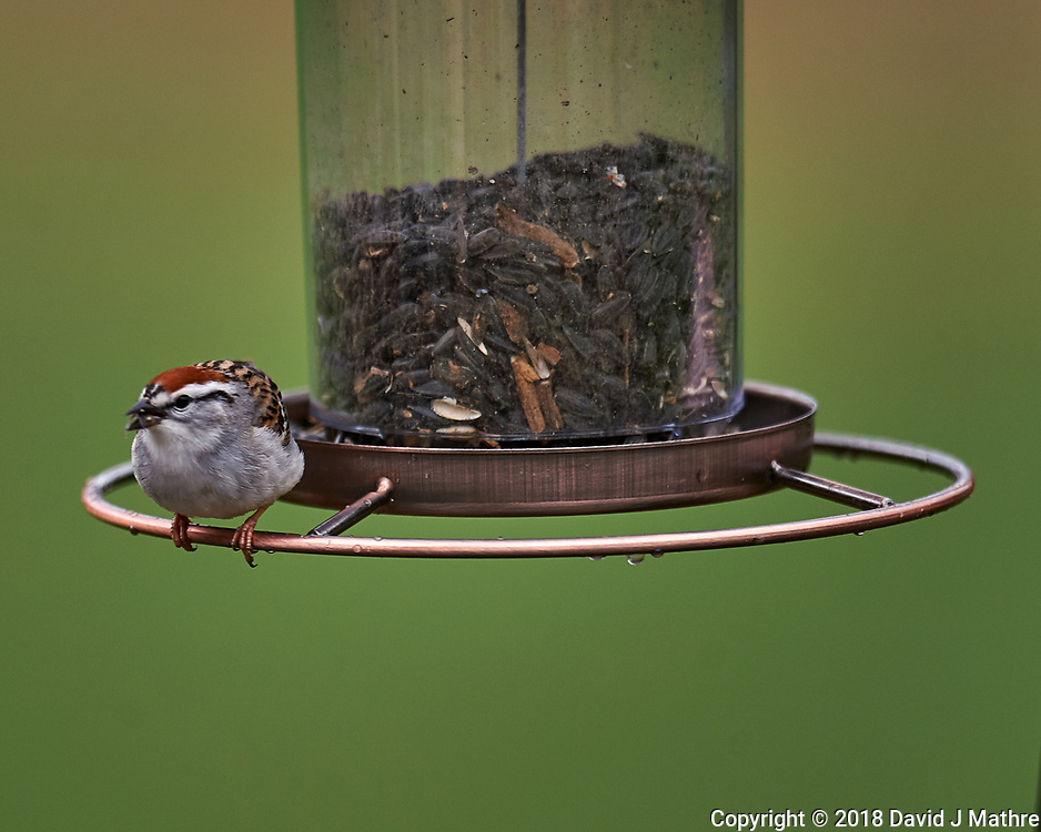 Chipping Sparrow on a Bird Feeder. Image taken with a Nikon D4 camera and 600 mm f/4 VR lens (ISO 360, 600 mm, f/4, 1/800 sec).