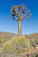 Qiver Tree, Namaqua National Park, Northern Cape, South Africa,