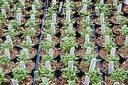 Herb, Summer savory, Satureja hortensis