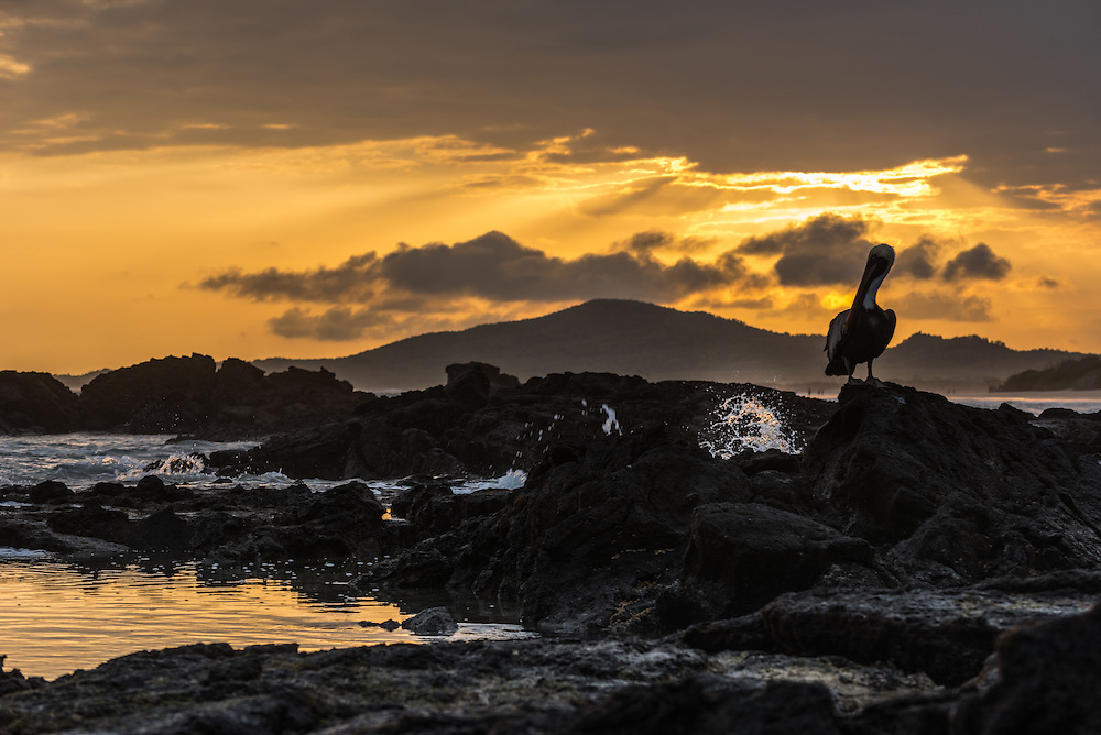Pelican on the rocks at sunset, Isla Isabela, Galapagos, Ecuador.