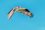 Osprey hovering, looking at you straight in the eye