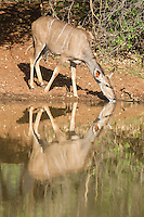 Kudu cow drinking from a waterhole and with her reflection in the calm waters, Mokala National Park, Northern Cape, South Africa