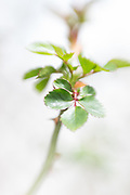 Photo rose leaves, matted print, wall art, macro, close up, soft focus, bokeh. California nature, garden, photography. Santa Monica, Westside, Venice, Los Angeles, Fine art photography limited edition.