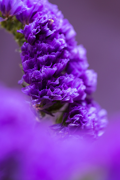 Macro photograph of Statice flower in purple colored tones.