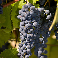 Vineyards: Grapes and vines