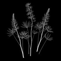 X-ray image of a lupine cluster (Lupinus, white on black) by Jim Wehtje, specialist in x-ray art and design images.