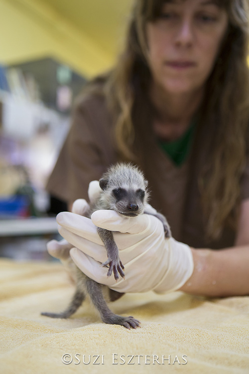 Raccoon <br /> Procyon lotor<br /> Volunteer, Shelly Ross, burping ten-day-old orphaned baby at wildlife rehabilitation center<br /> WildCare, San Rafael, CA<br /> *Model release available