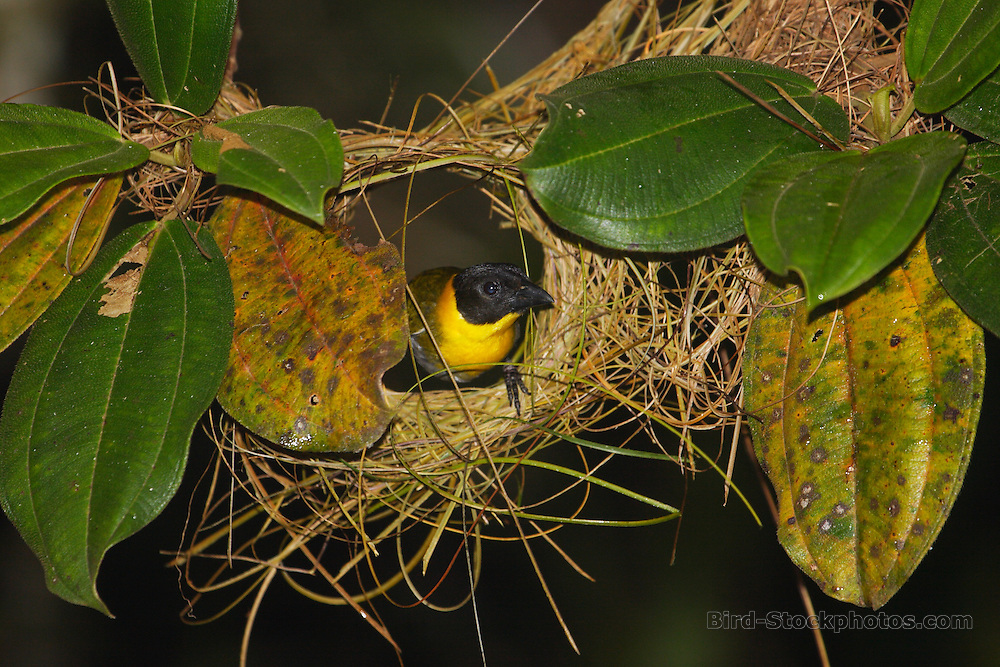 Nelicourvi Weaver, Ploceus nelicourvi, male, nest building, Vakona, Madagascar, by Adam Riley