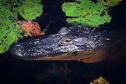 An american alligator (Alligator mississippiensis) in the black tanic water of the Okefenokee Swamp. Okefenokee National Wildlife Refuge, Georgia.