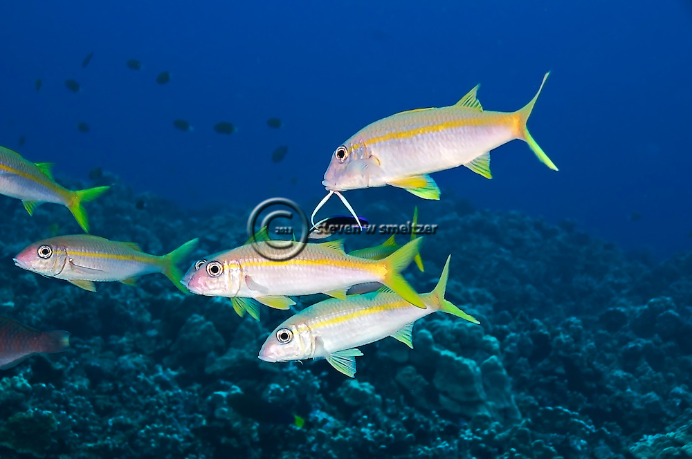 Yellowfin Goatfish, Mulloidichthys vanicolensis, (Valenciennes, 1831), Lanai Hawaii