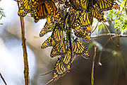 Monarch butterflies hang from an oyamel fir tree branch at the Sierra Chincua Biosphere Reserve January 20, 2020 near Angangueo, Michoacan, Mexico. The monarch butterfly migration is a phenomenon across North America, where the butterflies migrates each autumn to overwintering sites in Central Mexico.