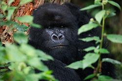 Direct eye contact with a black-backed mountain gorilla (Gorilla beringei beringei), Volcanoes National Park,Rwanda