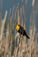 Yellow Headed Blackbirds summer in the west and Midwest United States and winter in Mexico.