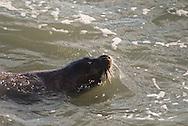 Monachus monachus, Mediterranean monk seal, foca monje del Mediterráneo, phoque moine de Méditerranée, Mittelmeer-Mönchsrobbe, 地中海僧海豹, チチュウカイモンクアザラシ, فقمة الراهب المتوسطية