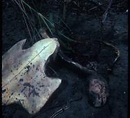 Descubrir el verdadero n&uacute;mero de tortugas marinas en el mundo es muy dif&iacute;cil debido a que  a los machos y los j&oacute;venes permanecen en el agua casi todo el tiempo. Las hembras s&oacute;lo salen a la playa para poner sus huevos. Por lo tanto, es dif&iacute;cil se&ntilde;alar si realmente existe una disminuci&oacute;n o un aumento en el n&uacute;mero de especies espec&iacute;ficas de tortugas marinas.<br /> <br /> Con base en la informaci&oacute;n que tenemos, la tortuga lora es la especie m&aacute;s amenazada , de las tortugas marinas en peligro de extinci&oacute;n. El &uacute;ltimo recuento fue de 42.000 de ellos en todo el mundo. Se cree que el n&uacute;mero de tortugas lora est&aacute; aumentando lentamente en los &uacute;ltimos a&ntilde;os, lo cual es alentador.<br /> <br /> Existen bastantes razones por qu&eacute; la poblaci&oacute;n de tortugas marinas en su conjunto est&aacute; en peligro de extinci&oacute;n. Los seres humanos han sido siempre su peor enemigo. Los pescadores son una amenaza para las tortugas marinas con sus redes y otros equipos, en el momento en que se encuentran a las tortugas enredadas la mayor&iacute;a ya ha muerto. Muchas especies de tortugas marinas son cazadas por su carne o para obtener los aceites de sus cuerpos. Incluso las conchas han sido utilizadas con fines de lucro.<br /> <br /> &copy;Alejandro Balaguer/Fundaci&oacute;n Albatros Media.
