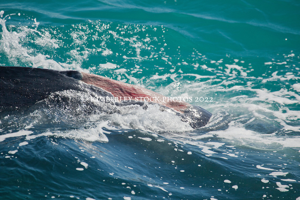 A Humpback whale with a damaged dorsal fin swims just off Broome's Cable Beach.