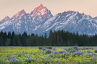 Wildflower meadows,  Grand Teton National Park Wyoming