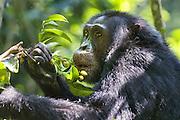 Chimpanzee<br /> Pan troglodytes<br /> Feeding on Pseudospondias microcarpa fruit<br /> Tropical forest, Western Uganda